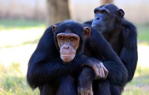 ¿Sabes cuántas veces son más fuertes los chimpancés que los humanos y por qué?
